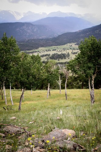 Aspen grove at Rocky Mountain National Park